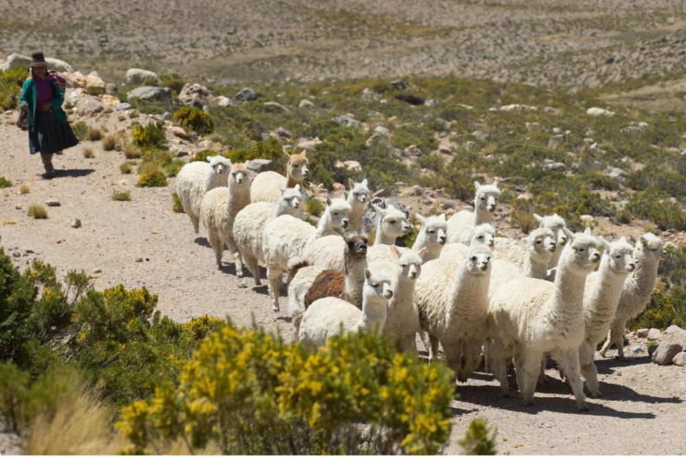 Een herderin met een kudde alpaca's en lama's in de Colca vallei, Peru