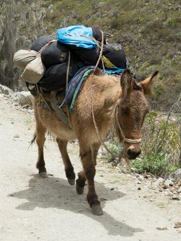 Een ezel vervoert spullen op de Camino Inca (Inca-trail) in Peru