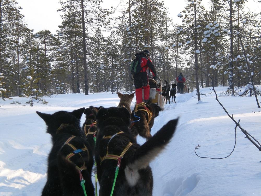 Een husky-sledetocht door de sneeuw te Lapland