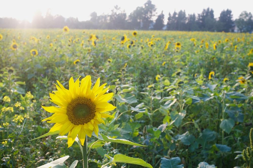 Een veld met zonnebloemen in de avondzon